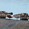 Northern Shoveler, Pink-eared Duck