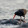 Sooty Oystercatcher (nominate race)