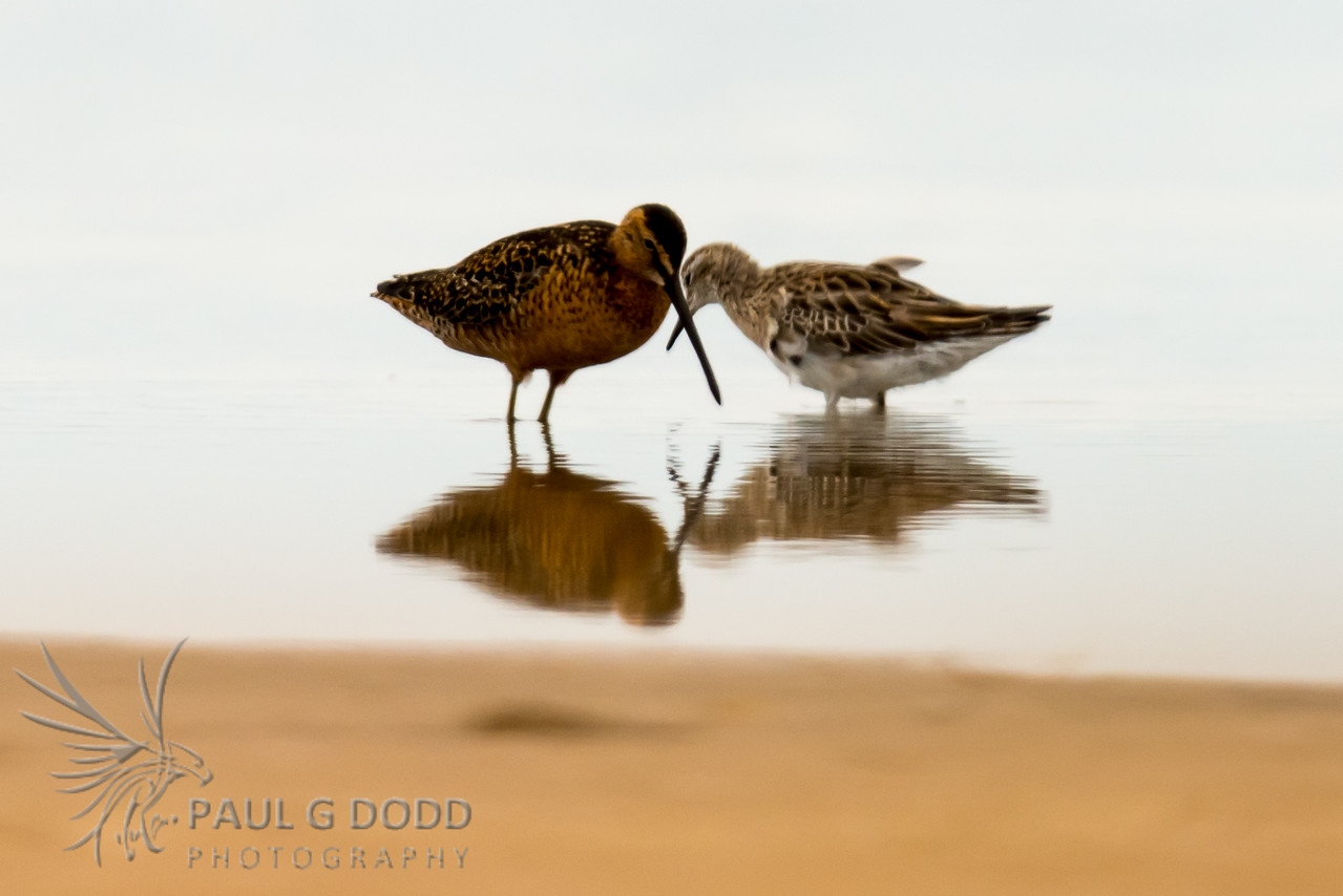 Long-billed Dowitcher, Sharp-tailed Sandpiper