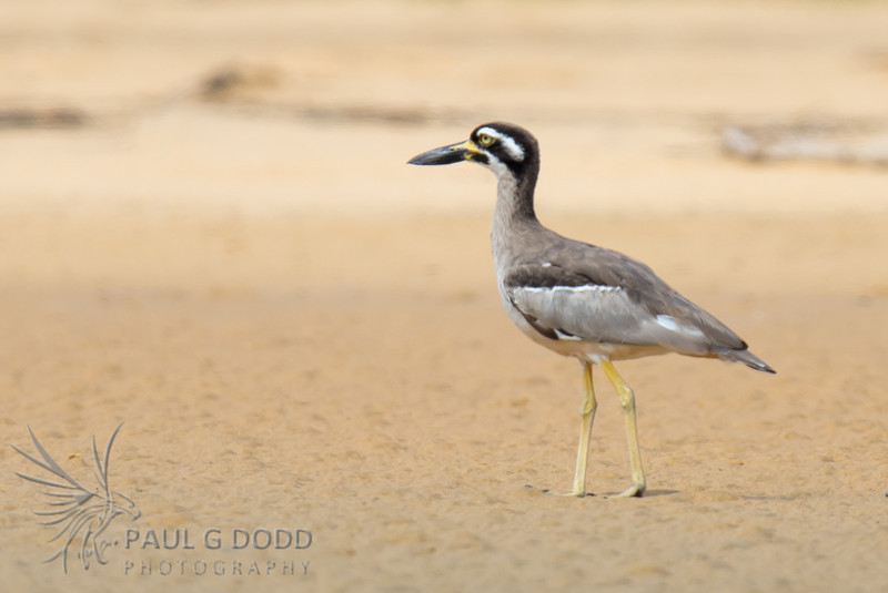 Beach Stone-curlew