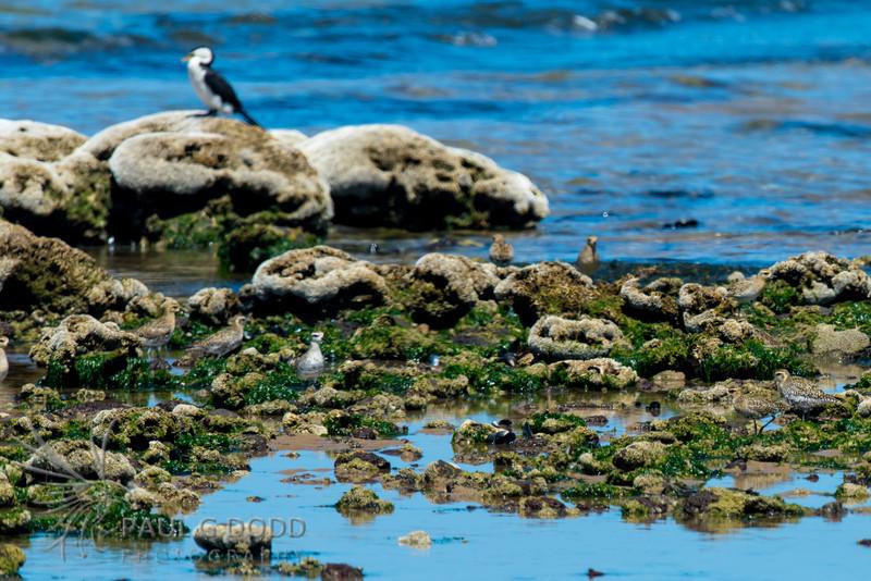 American Golden Plover, Pacific Golden Plover