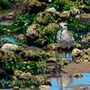 American Golden Plover