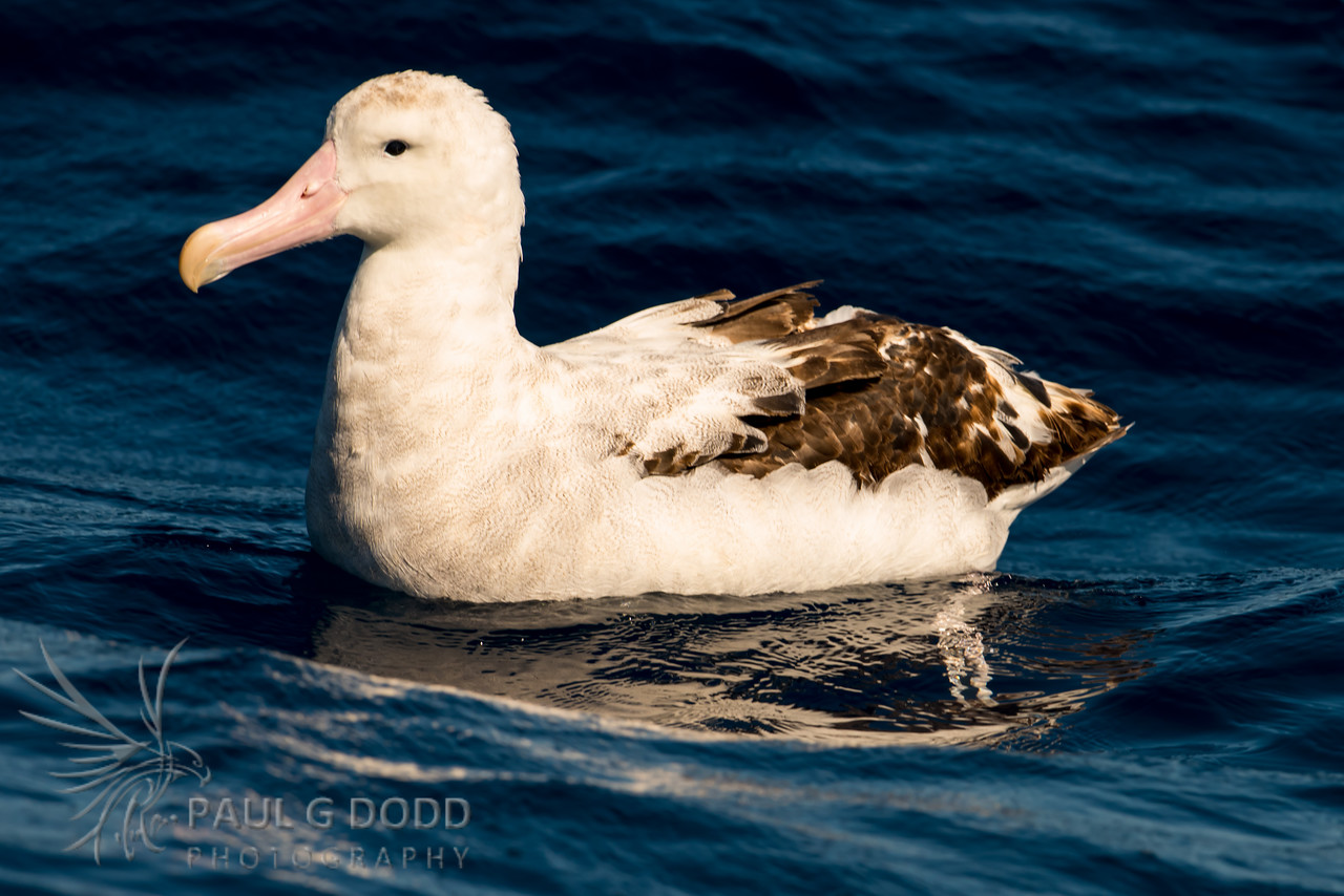 Wandering Albatross (most likely Snowy)