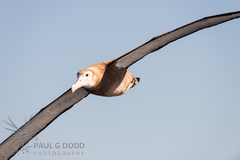 Wandering Albatross (juv) - species undetermined