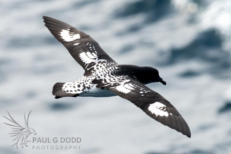 Cape Petrel (nominate race)