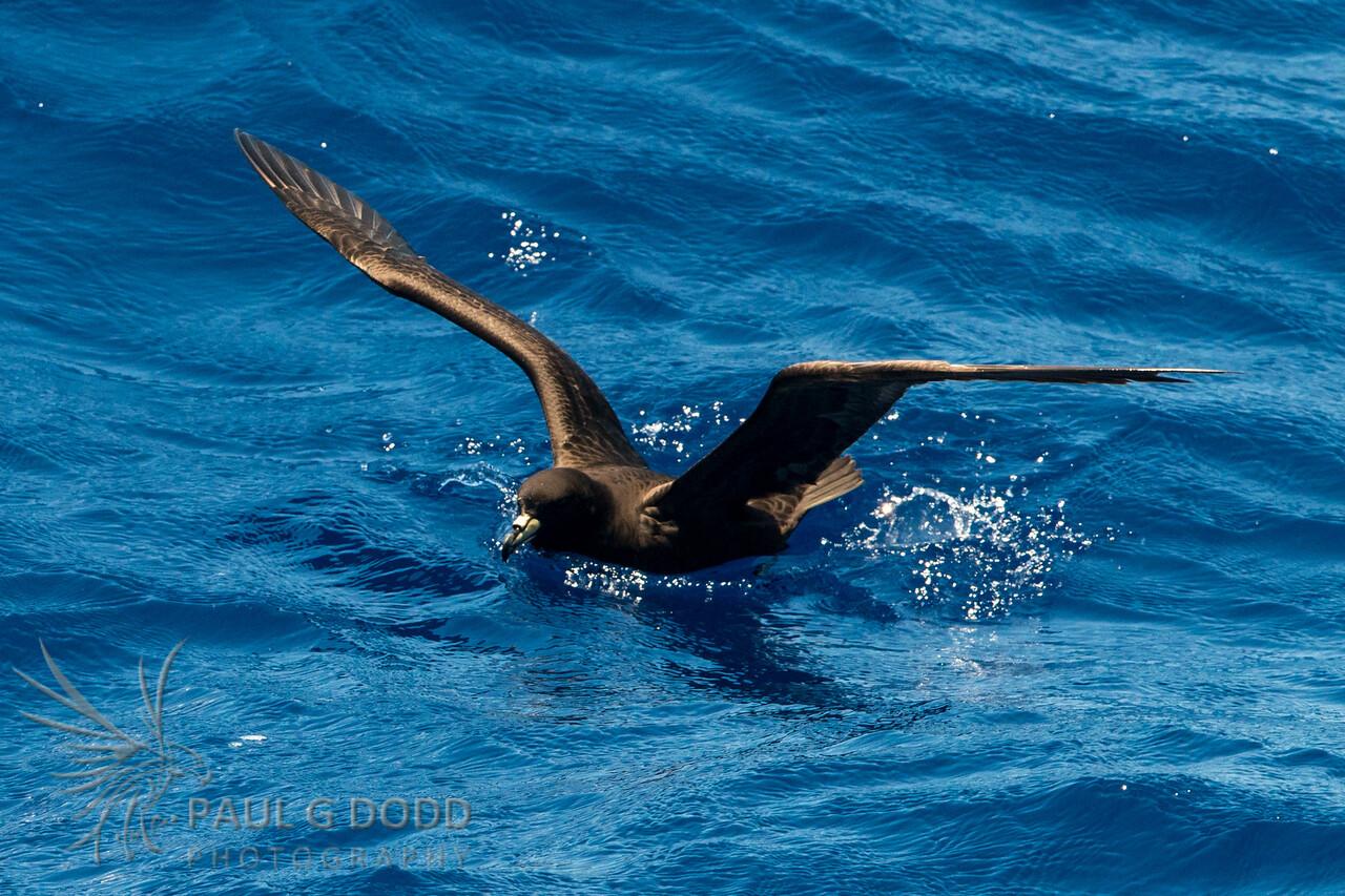 Black Petrel