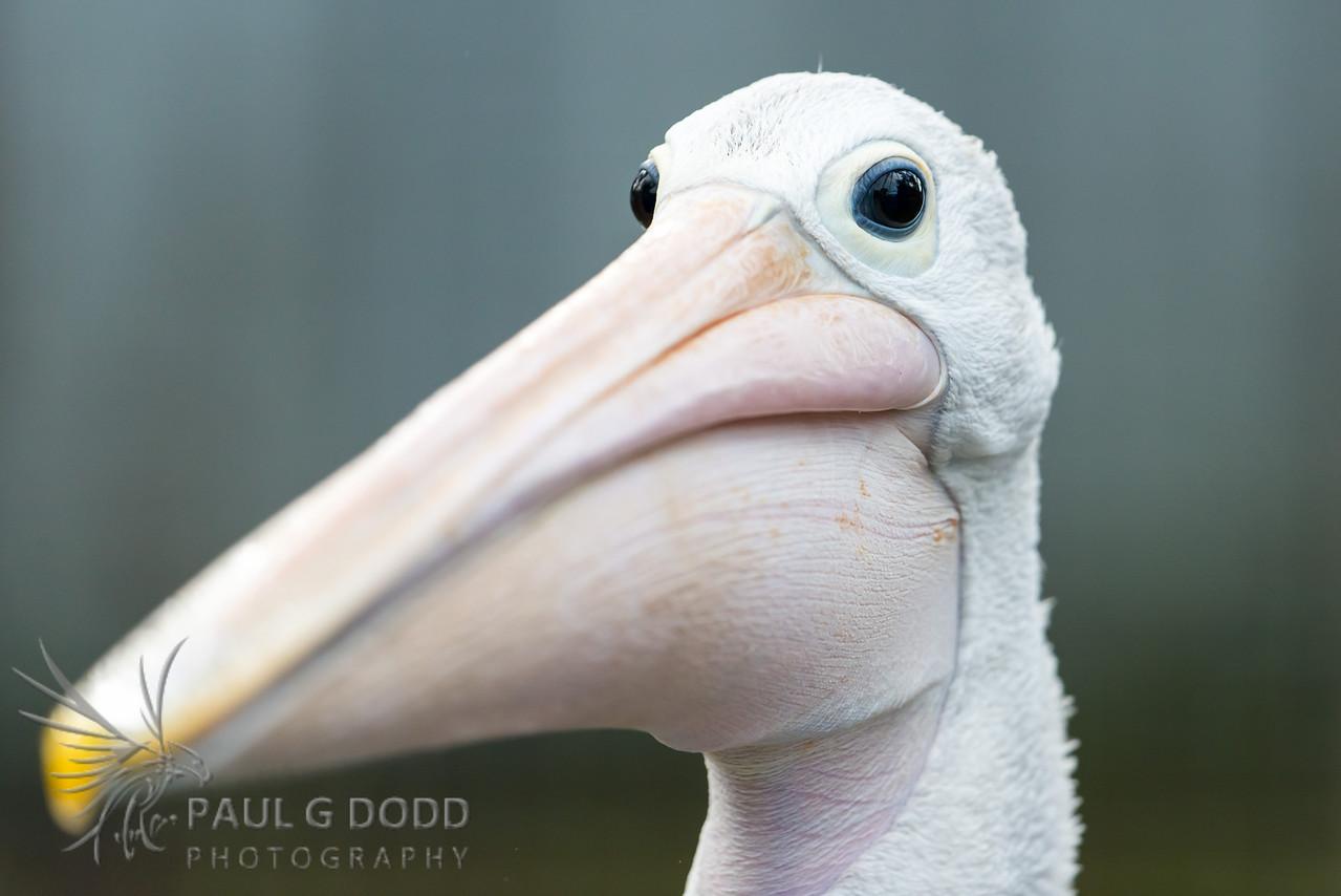 Australian Pelican (captive)