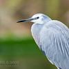 White-faced Heron (captive)