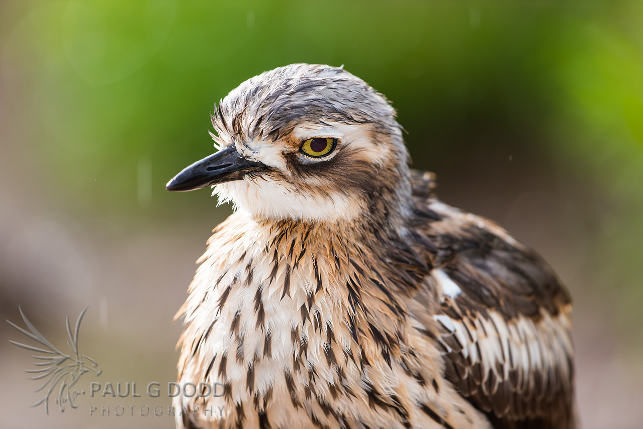 Bush Stone-curlew (captive)