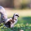 Cape Barren Goose