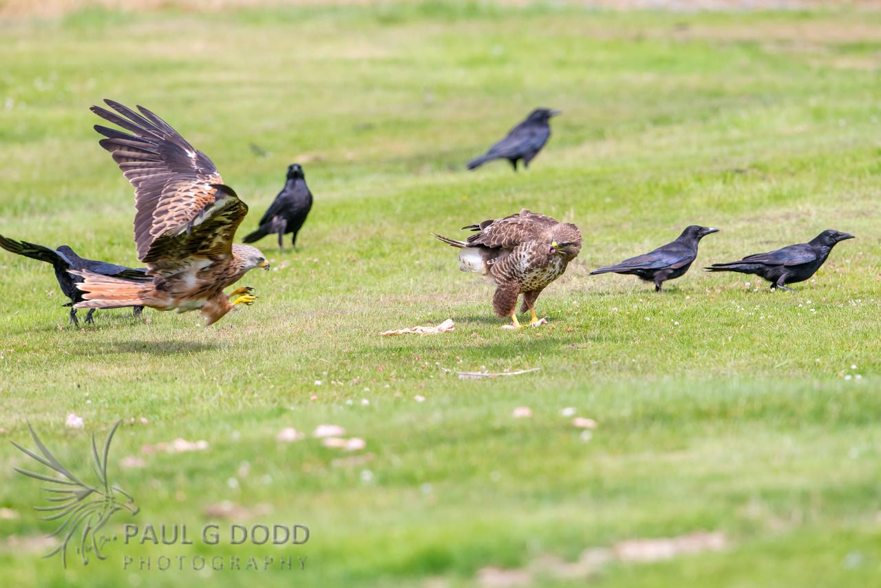 Carrion Crow, Common Buzzard, Red Kite