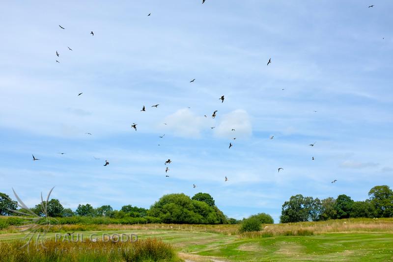Gigrin Farm Red Kite Feeding Station