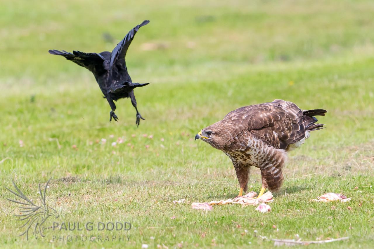 Carrion Crow, Common Buzzard