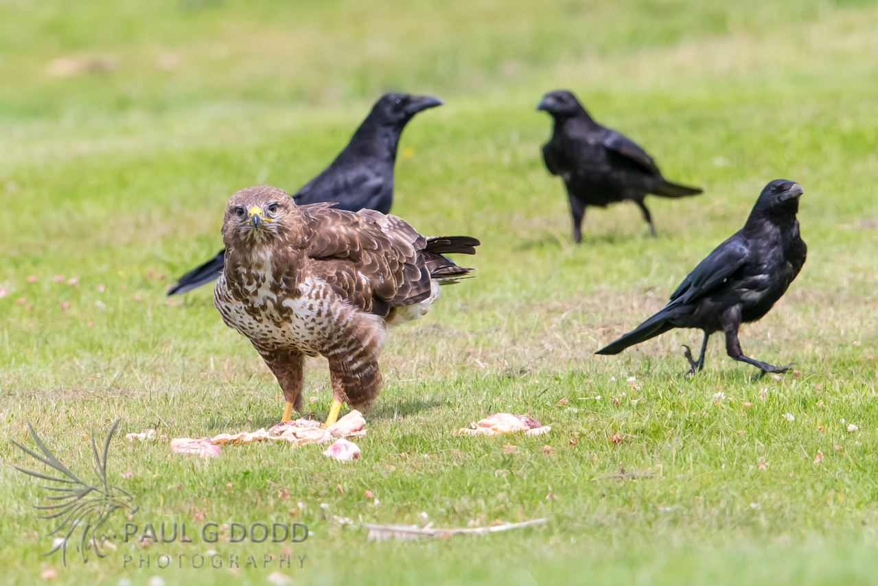 Carrion Crow, Common Buzzard