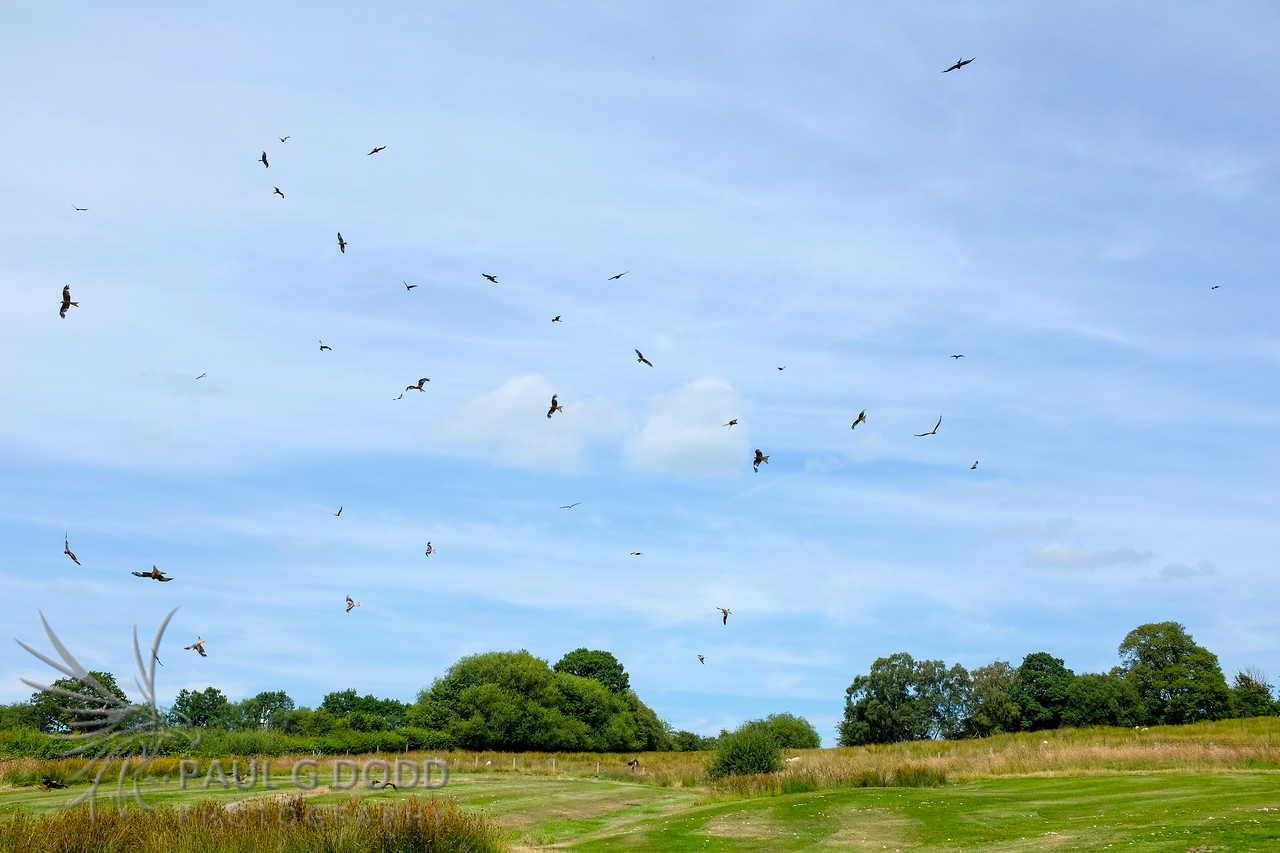Gigrin Farm Red Kite Feeding Station