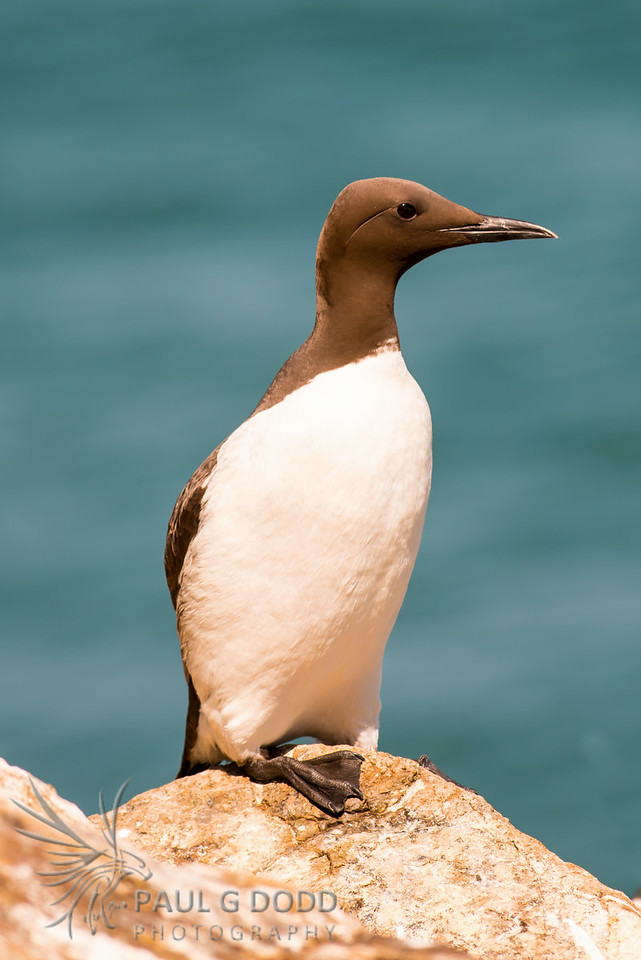 Common Guillemot (Murre)
