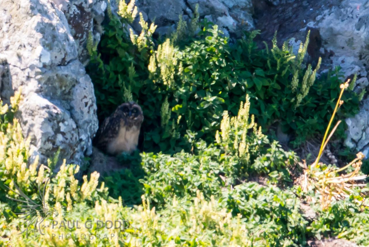 Short-eared Owl (juv)