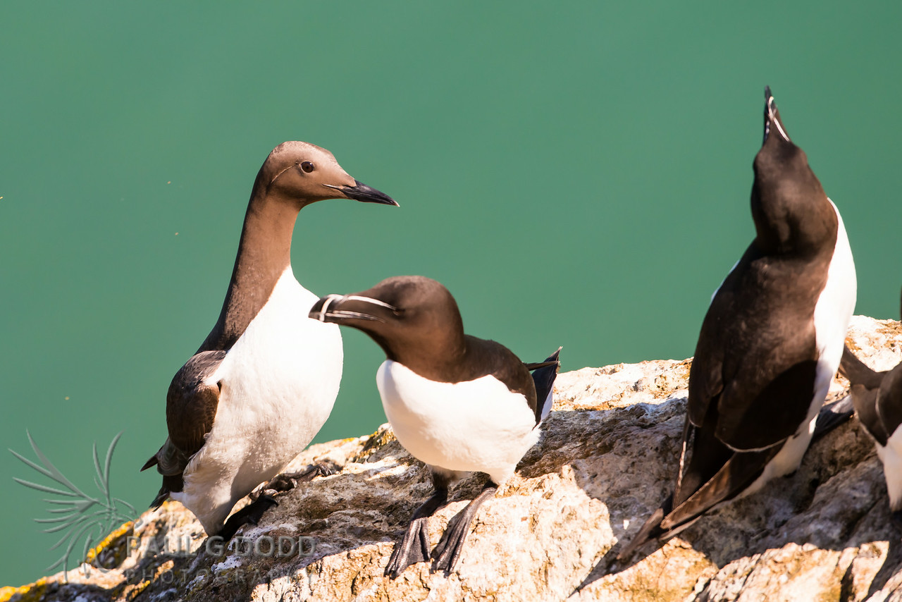 Common Guillemot (Murre), Razorbill