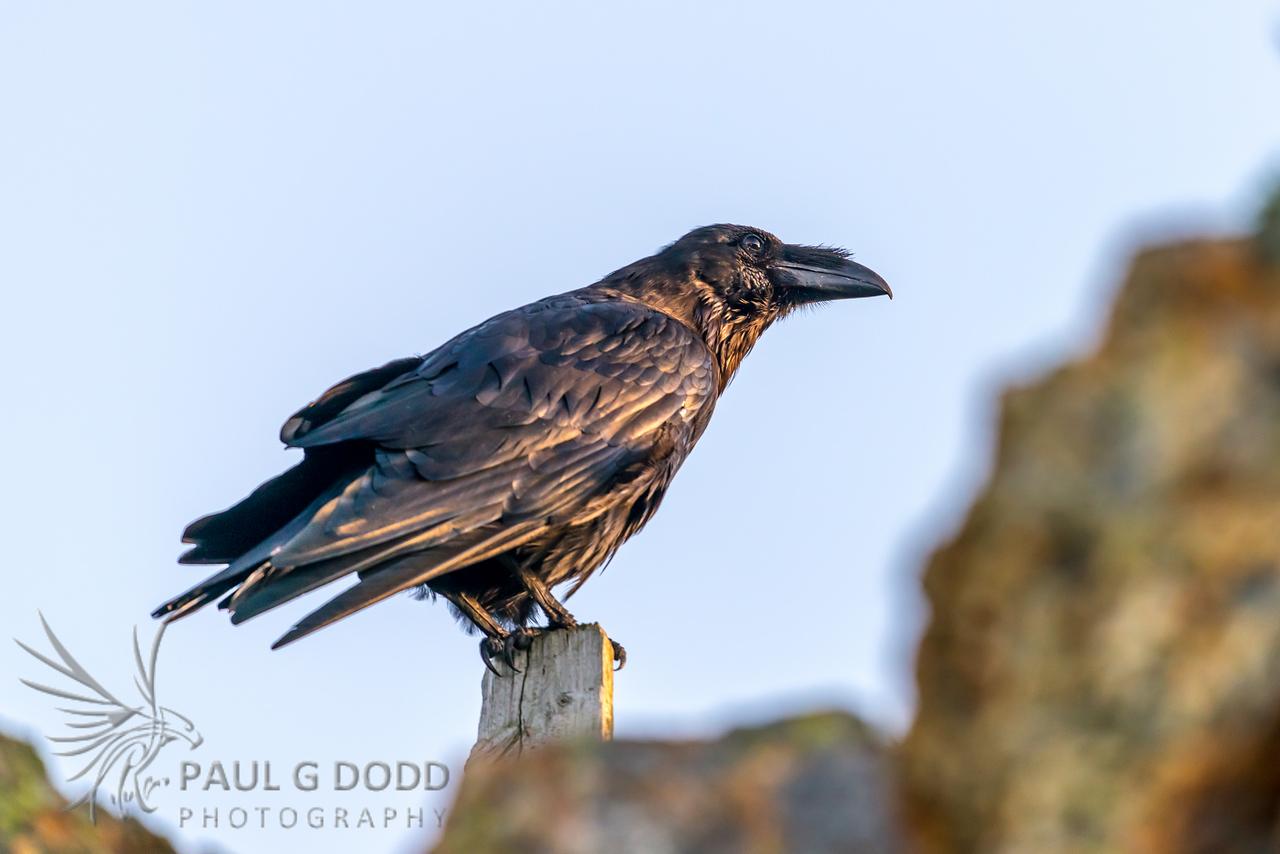 (Northern) Raven