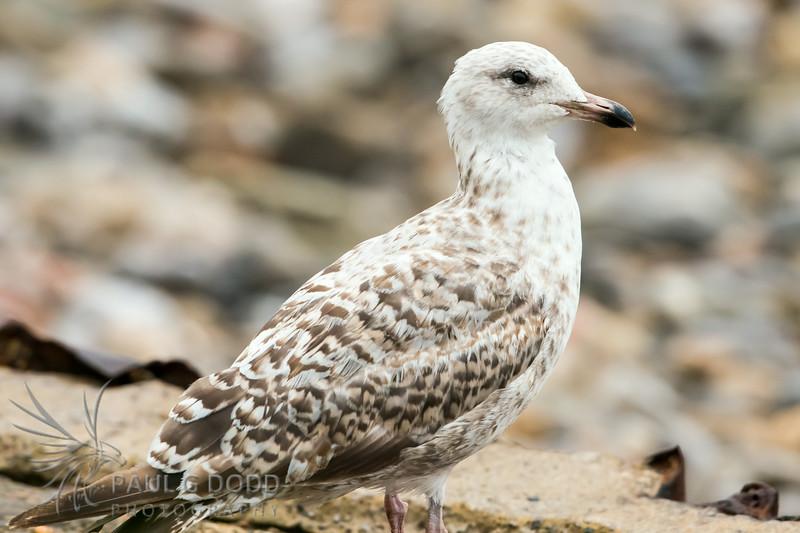 Herring Gull (juv)