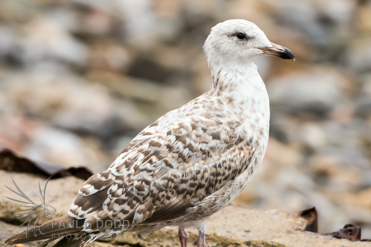Herring Gull (juv)