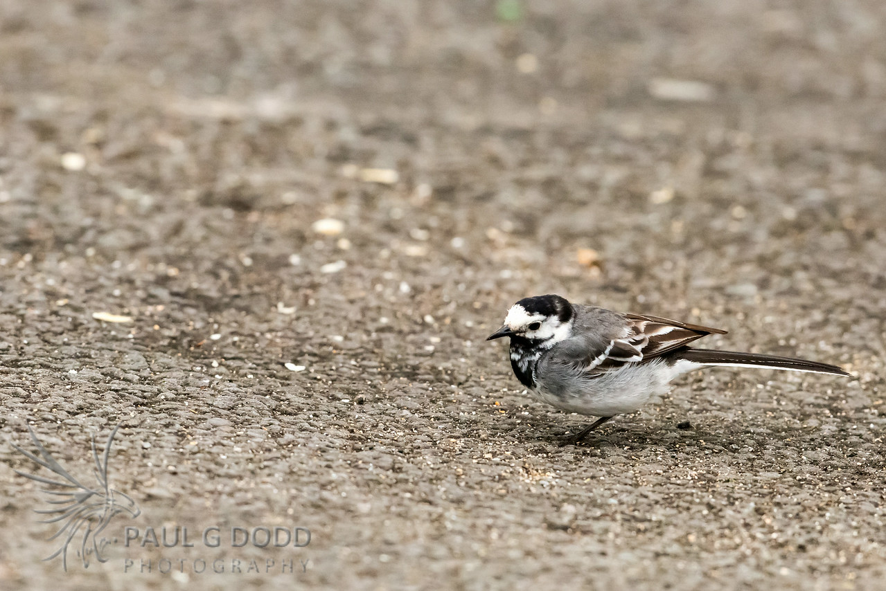 White (Pied) Wagtail