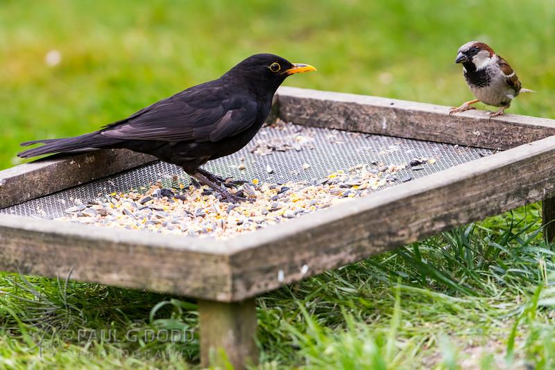 Common Blackbird, House Sparrow