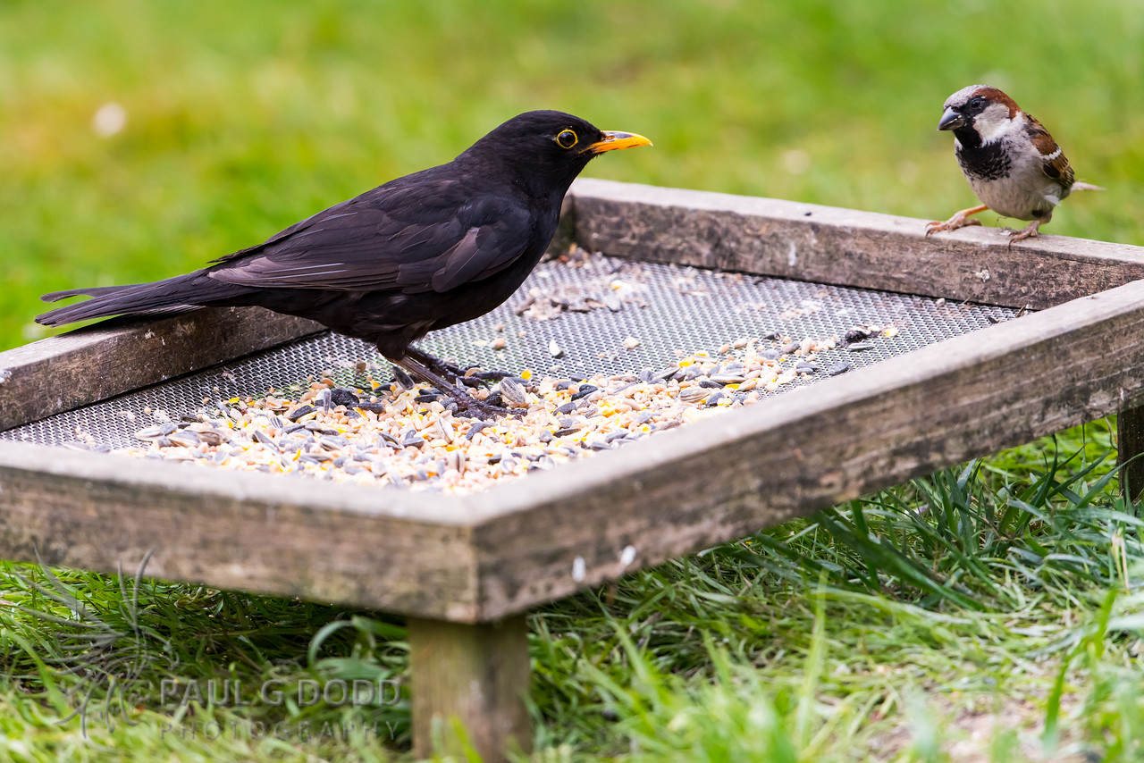 Common Blackbird, House Sparrow