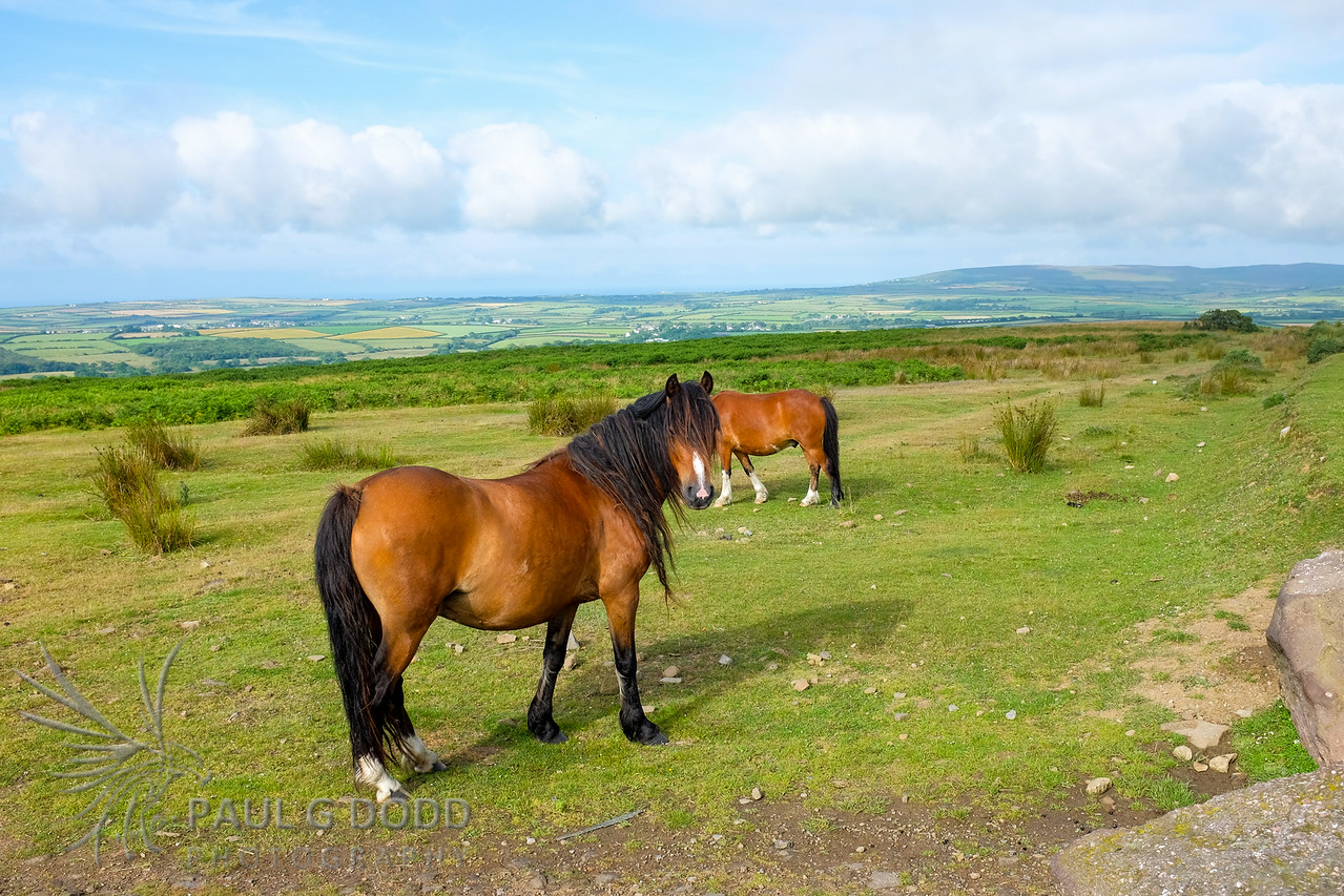 Welsh Pony, Cefn Bryn