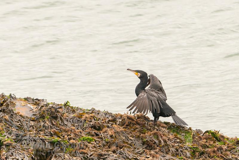 (Great) Cormorant