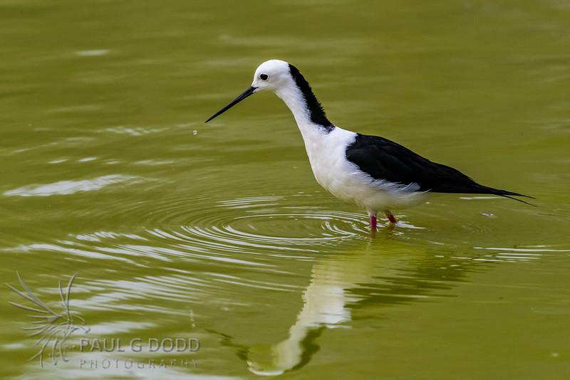 Black-winged (White-headed) Stilt