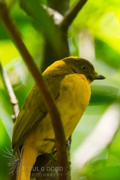 Golden Bowerbird