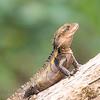 Australian (Eastern) Water Dragon