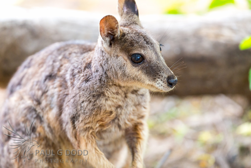 Unadorned Rock-wallaby (Mareeba race)