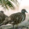 Squatter Pigeon