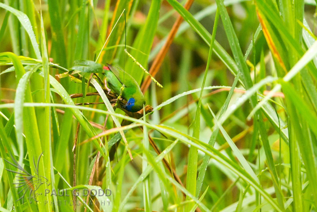 Blue-faced Parrot-finch
