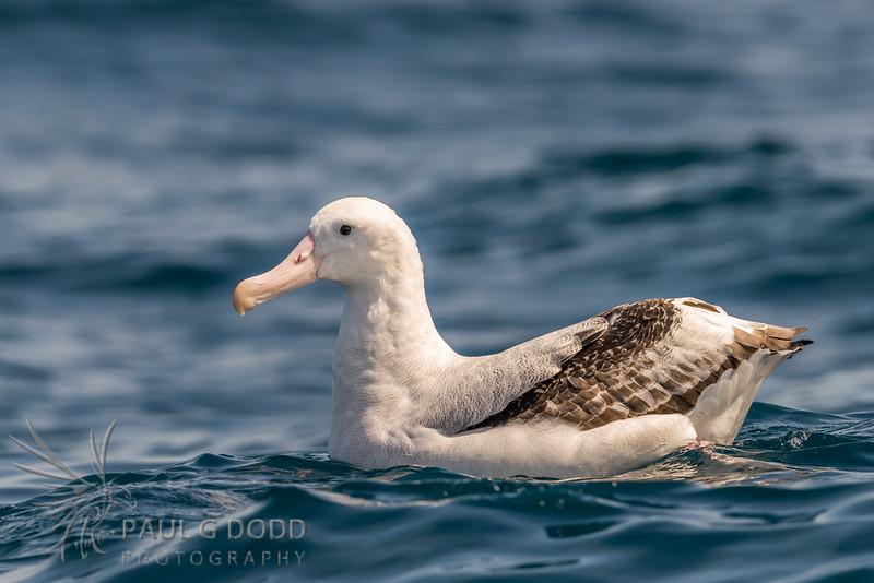 Antipodean (Wandering) Albatross