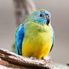 Turqoise Parrot (male) (captive)