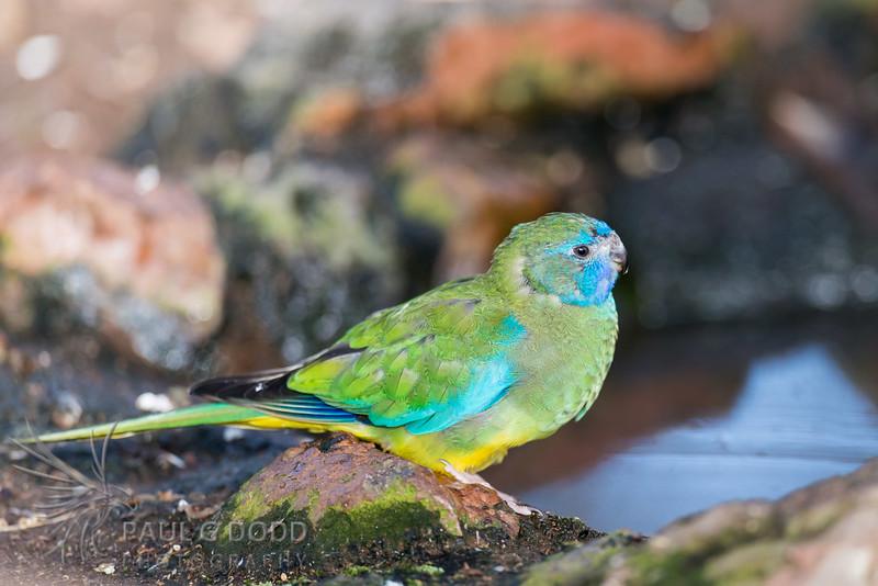 Turquoise Parrot (female) (captive)