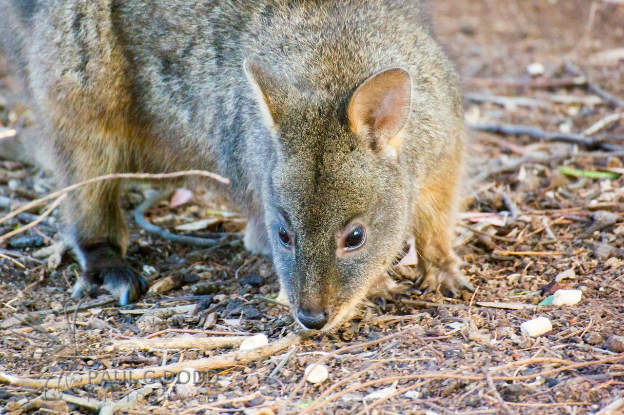 Tasmanian Pademelon (captive)