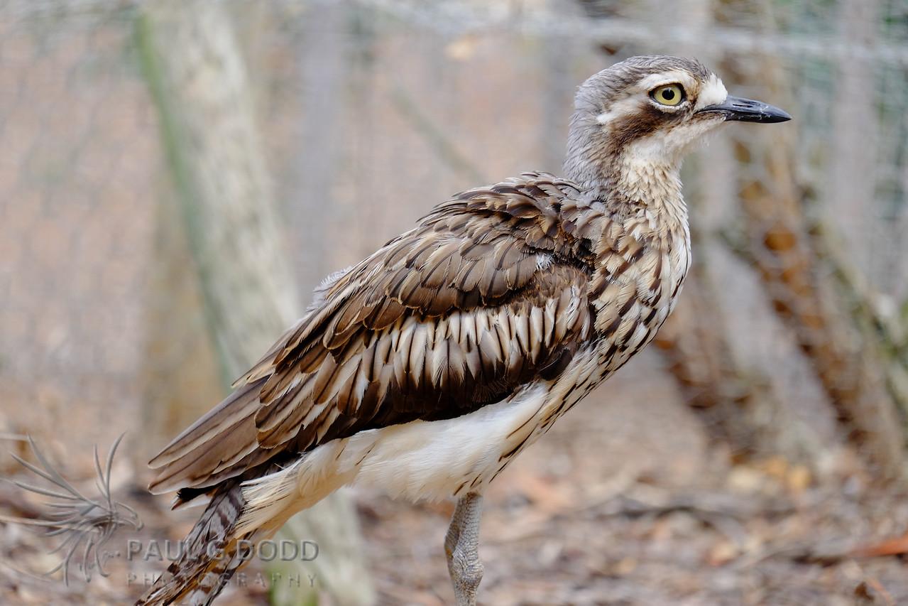 Bush Stone-curlew (captive)