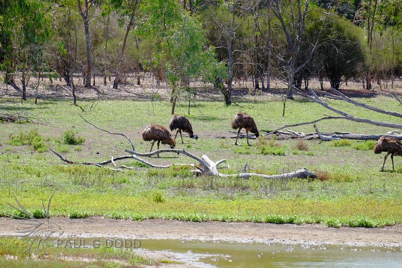 Emus feeding, Lake Serendip