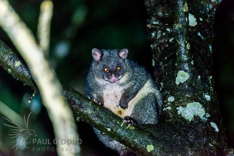 Mountain Brushtail Possum (Southern Bobuck)