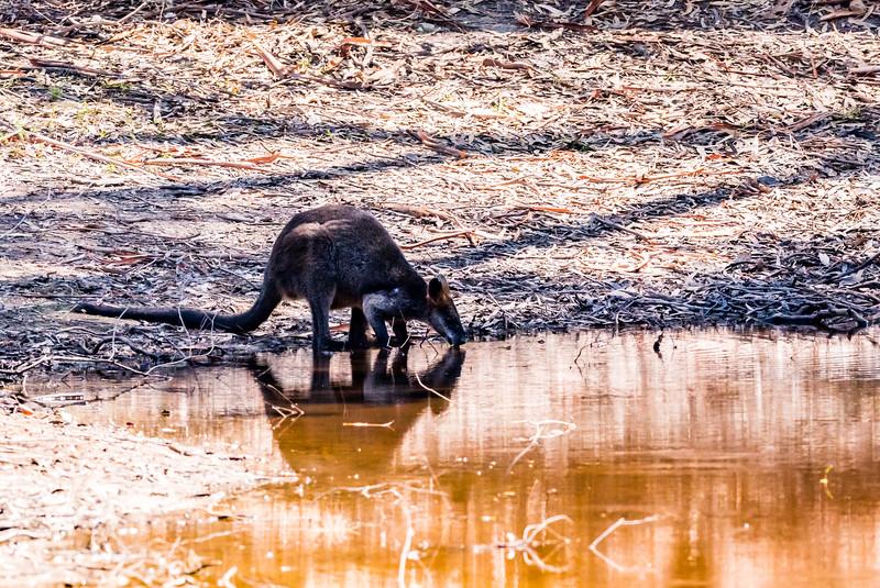 Black (Swamp) Wallaby