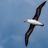Black-browed Albatross (imm)