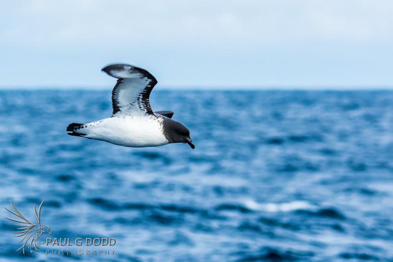 Cape Petrel