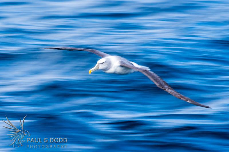 Shy Albatross (slow pan)
