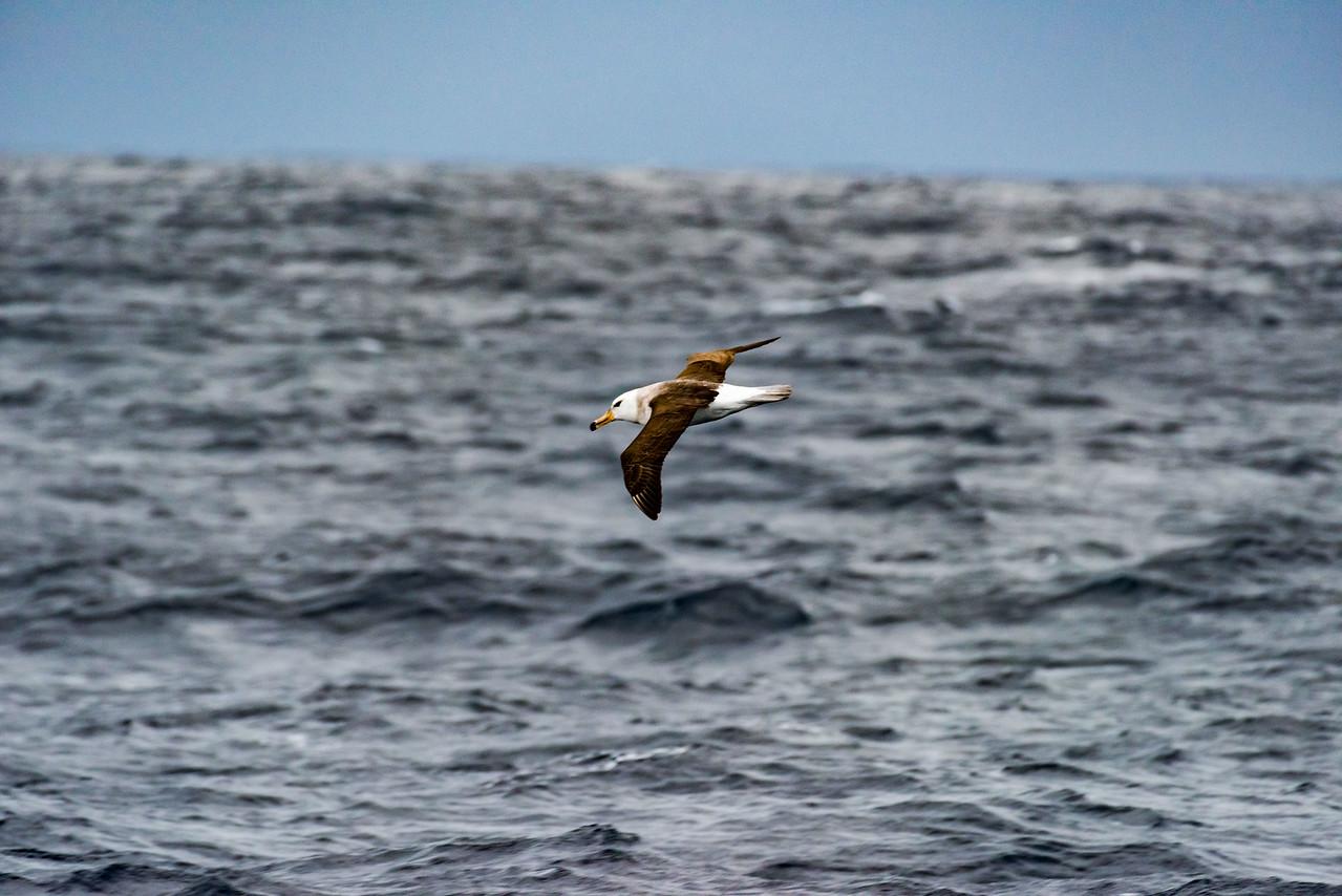 Black-browed Albatross (imm)