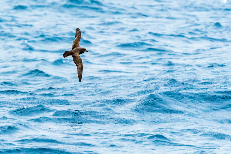 Great-winged Petrel