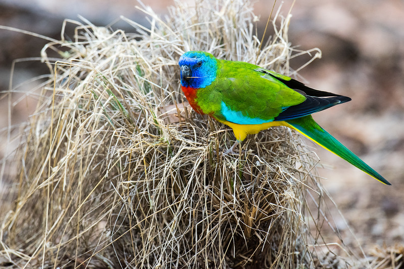 Scarlet-chested Parrot (captive)